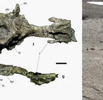 Resultado de imagen para Científicos descubrieron en la Antártida un cráneo casi completo, parte de la mandíbula y otros restos fósiles de un pingüino gigante de 35 millones de años de antigüedad